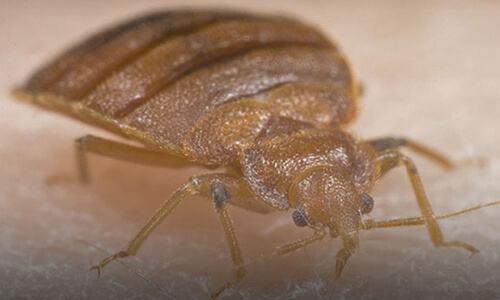 Capitol Exterminating Bed Bug 1