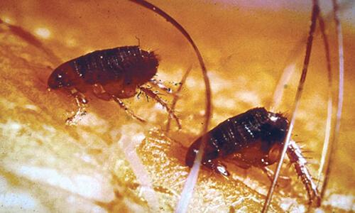 Capitol Exterminating Fleas 1