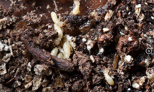 Capitol Exterminating Termites 1