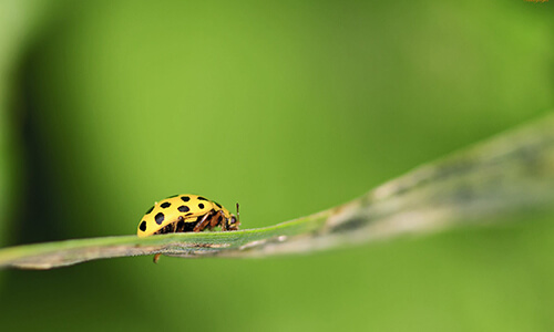 Capitol Exterminating ladybug 2