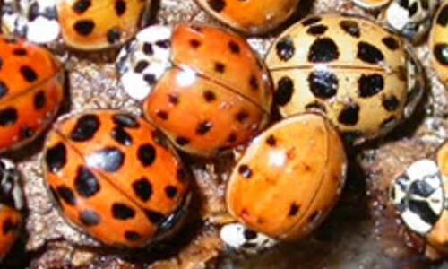 Capitol Exterminating ladybug 3