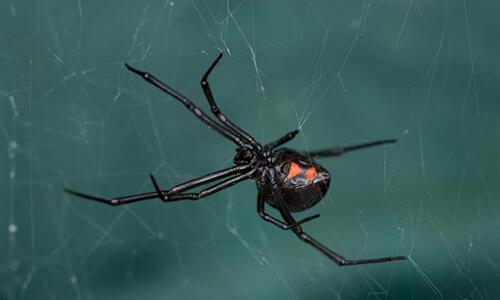 capitol exterminating black widow spider