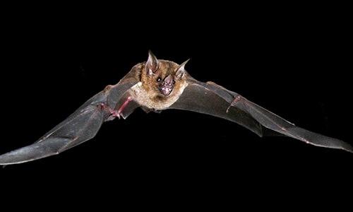 Capitol Exterminating Bat Removal