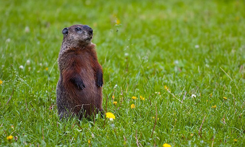 Capitol Exterminating Groundhog Removal
