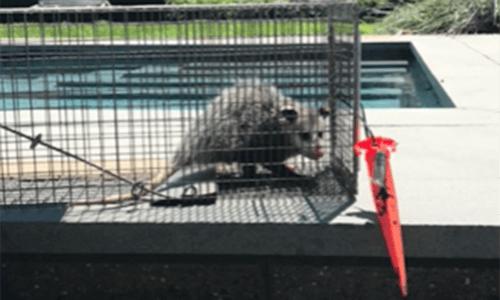 Capitol Exterminating Opossum Removal 2 copy