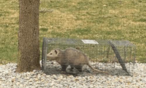 Capitol Exterminating Opossum removal 1 copy