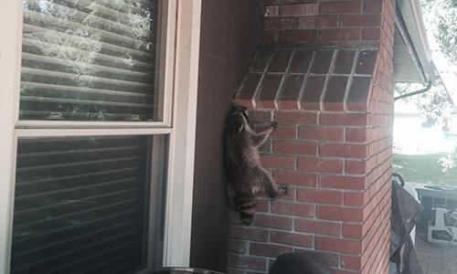 Capitol Exterminating Raccoon 1