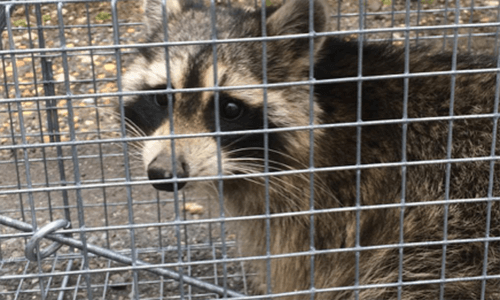 Capitol Exterminating Raccoon Caged 2 copy