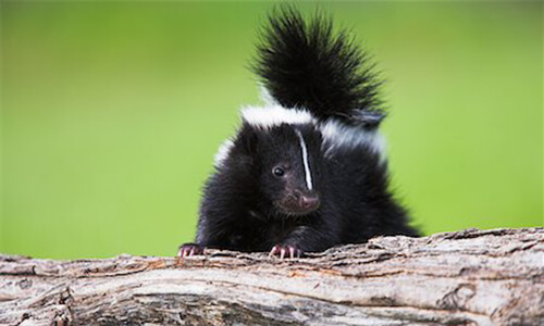Capitol Exterminating Skunk Removal