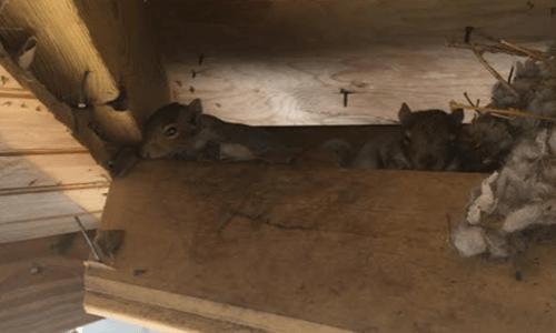 Capitol sExterminating Baby Squirrel 3