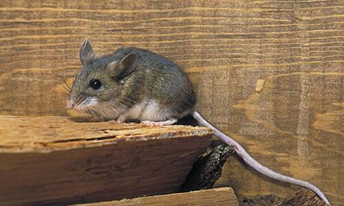 capitol exterminating deer mouse