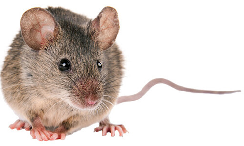 capitol exterminating house mouse