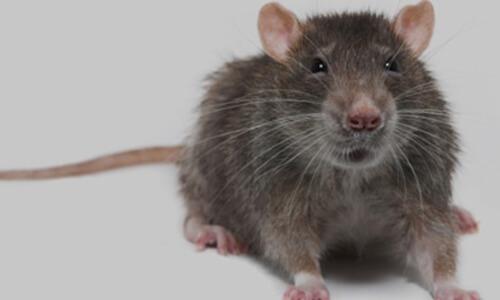 capitol exterminating norway rat