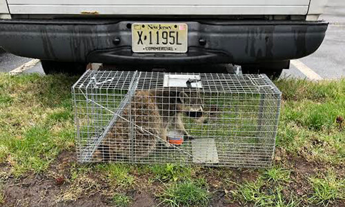capitol exterminating raccoon caged