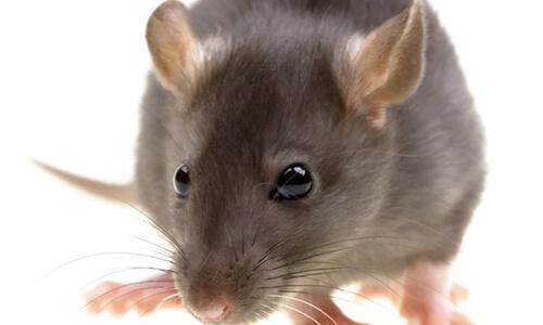capitol exterminating roof rat